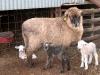 corriedale-ewe-triplets